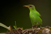 Green Honeycreeper, Chlorophanes spiza