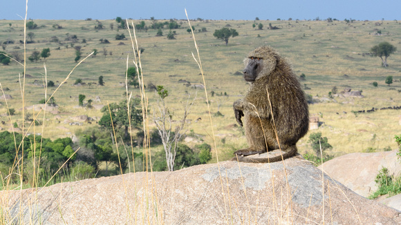 Olive Baboon Sentry