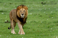 Dominant Male Lion on Patrol