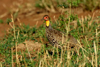 Yellow-necked Spurfowl or Francolin