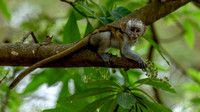 Monkeys and Babboons - Cercopithecidae