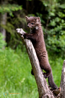 Juvenile American Marten surveys the scene.