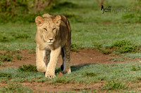 Juvenile Male Lion on Patrol