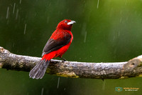 Crimson-backed Tanager (Male) in rainy Panama.