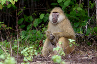 Adult Yellow Baboon