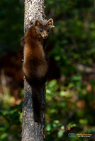 Juvenile American Marten escaping up a tree