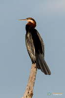 African Darter in Kenya