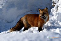 Red Fox in winter with prey.