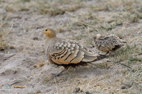 Chestnut-bellied Sandgrouse with chick