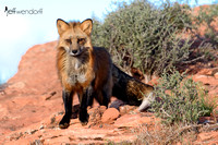 Alert Red Fox in the red rocks