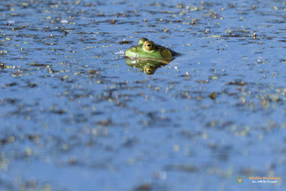 Bullfrog in the pond