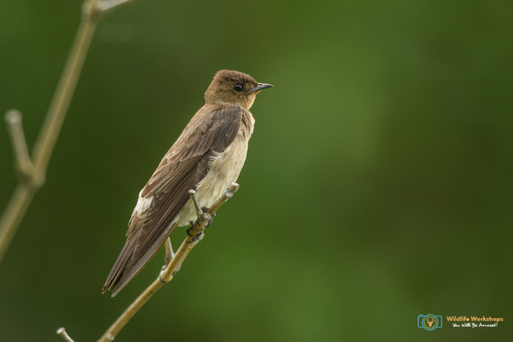 Southern Rough-winged Swallow in Panama