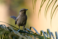 Chalk-browed Mockingbird palm tree perch