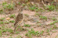 African Pipit in Tanzania