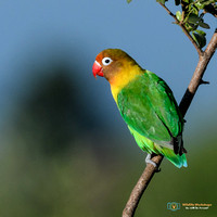 Fischer's Lovebird - Great Rift Valley - Kenya