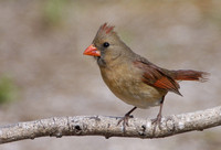 Cardinals and Pyrrhuloxia - Cardinalis