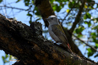 African Grey Woodpecker (Female)