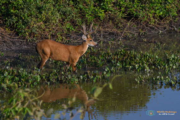 Marsh Deer (Male) in Brazil