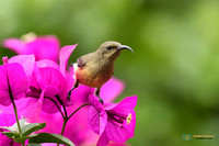Hot Pink - Variable Sunbird