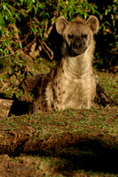 Spotted Hyena exiting the den
