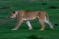 On the Move - African Lioness