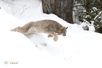 Leaping for Prey - Canada Lynx