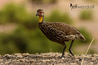 Yellow-necked Spurfowl in Kenya