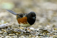 Spotted Towhee foraging in Oregon