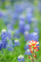 Indian Paint Brush in a Blue Bonnet field.