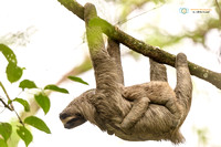 Brown-throated Sloth with baby in Panama