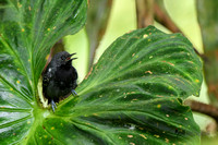 Slaty Antwren peaking out of a Velvet-leaf Philodendron