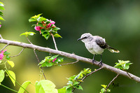 Tropical Mockingbird perched on a Rhododendrum