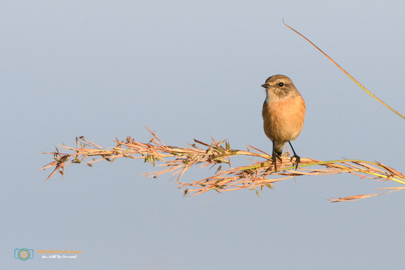 African Stonechat (Female) in South Africa