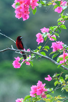 Crimson-backed Tanager in a rhododendron. Nicknamed Sangre de Toro, Blood of the Bull.