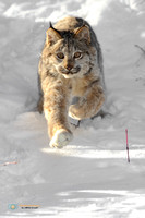 Canada Lynx in the Snow