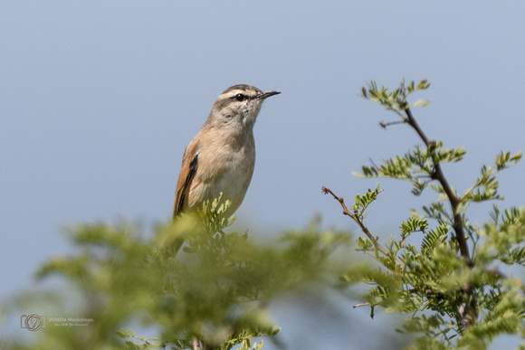 Kalahari Scrub Robin in South Africa