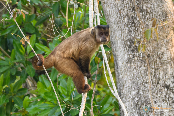 Tufted Capuchin in Brazil