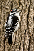 Downy Woodpecker, Picolides pubescens