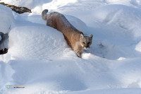 Cougar in the deep snow.