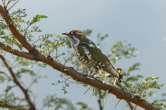 Diederik Cuckoo in South Africa