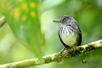 Spot-crowned Antvireo (Male) in Panama