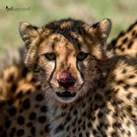 Young Cheetah bloody face
