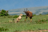 Cheetah being chased by a Topi