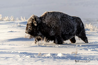 American Bison, Bison bison. Also Buffalo