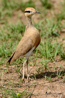 Coursers - Glareolidae