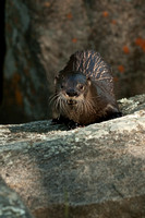 North American River Otter,Lontra canadensis. Also Northern River Otter or Common Otter