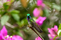 Blue-chested Hummingbird (Male) in Panama