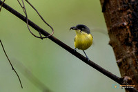Common Tody-flycatcher with prey in Panama