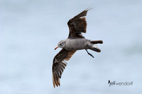 Heermann's Gull - 2nd Cycle