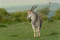Common Eland - Kenya